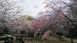 20140406_sakura_2.jpg